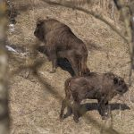 Bisons (Bison bonasus) in beech forest, National Park of Poloniny (photo by Jano Štovka, MQEP)