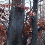 Common Beech tree (Fagus sylvatica) (photo by Ľubica Pinčíková)