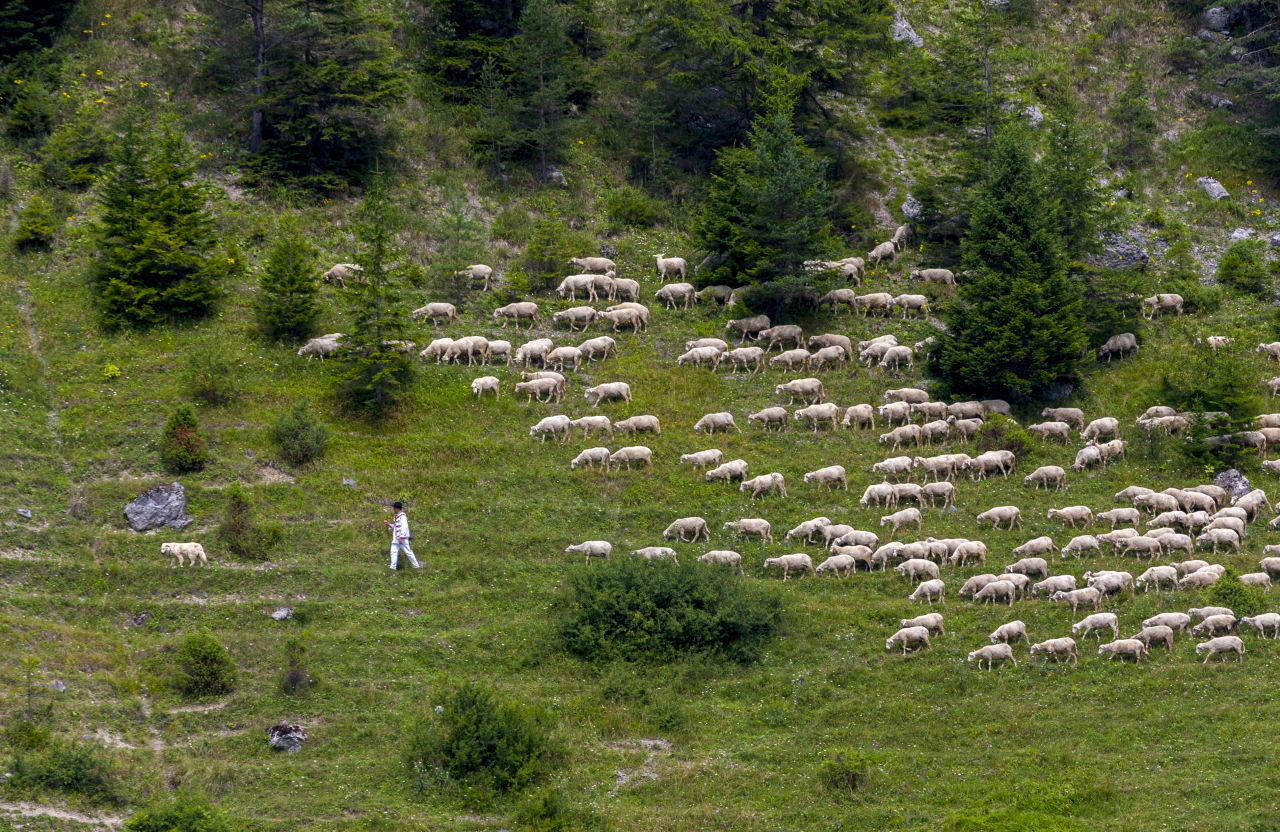 Shepherd grazes sheep in the meadows near the village Liptovské Revúce (photo by Daniel Veselský)